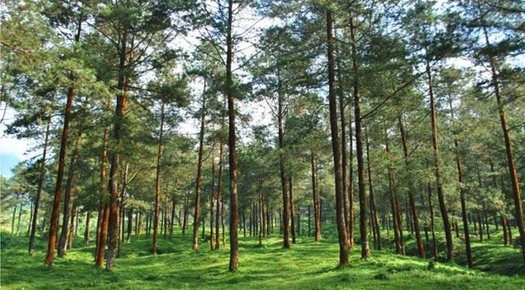 Hutan Pinus - 4