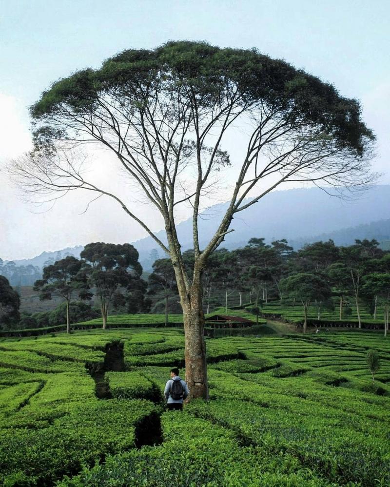 keindahan kebun teh sukawana